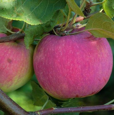 яблоня мельба фото